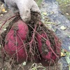 9月24日芋掘り集会