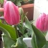 チューリップ咲いたけど…なんの品種だろう?