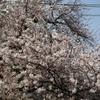 大岡川 桜 2021年3月30日