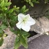 ウチのツツジの一番花