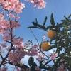 庭の河津桜がきれいに咲いています♪