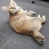 第23回ねこといぬのおうちさがし@和泉市参加猫 さよちゃん紹介