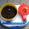 我が家でもしまじろうチャレンジのおじぎ草栽培セットの芽が出ました