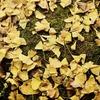 そぶえイチョウ黄葉まつり2018