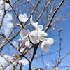 吉野桜(ソメイヨシノ)