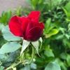 5月26日、バラを思う一日