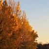 65s  夕暮れの公園、月と黄葉した公孫樹を楽しむ!