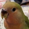 小桜インコの「さくら」〜カメラに寄ってみたけど,やっぱり怖かった〜