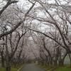 戸田記念墓地公園の桜と Royce'本社の春の花