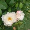 8月の庭の花たちを撮っておきました