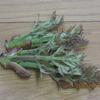 庭のタラの芽初収穫!