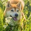 愛犬トムが朝から脱走・・・自作のリードに不備が・・・