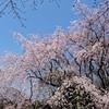 桜巡り~六義園シダレザクラからの北本自然観察公園エドヒガン~