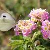 ギリシャと日本で対応する興味深い数種の蝶について 第7(?)回