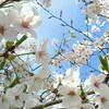 華やかさと滅び 桜を書いた文学の系譜
