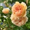 薔薇の季節♪