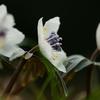 植物と友達になろう! VOL.03 「セツブンソウ」