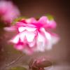 濃い桃色に白が美しいサザンカ:花御堂