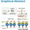 神経軸索が損傷した時、ミトコンドリアのCaイオン取り込み因子のmRNA分解をキャンセルすることで、スムーズにCaイオンを伝達する (Current Biology 2020年1月23日号掲載論文)