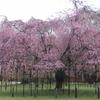 上賀茂神社の斎王桜と半らぎの道の紅シダレサクラ。