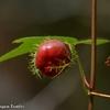 ベリーズ 不気味な赤い実