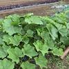 カボチャの受粉とそら豆の収穫