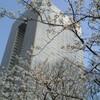 桜:オフィスの近くにて