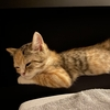 可愛いマンチカン子猫の日常写真