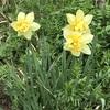 水仙やムスカリ、ボケ、雪柳が咲き始めました