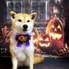 🎃柴犬『きなこ』犬にも衣装!ハロウィンと娘の誕生日!どのモンブランケーキが好き??