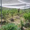 ブルーベリー→摘み取り、草刈り 緑陰で休む アジサイ