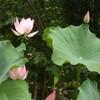 遠ざかる日々4 蓮の花 カサブランカ