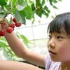 熊本でサクランボ 阿蘇市で収穫体験
