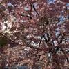 海老名駅西口の満開桜🌸咲き誇る!だから悔いなく花は散る。私も悔いなく仕事を捌いていかなきゃ