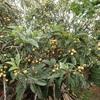 枇杷の実 リピーター Eriobotrya japonica fruit