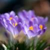 うす紫色の春