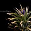 【Tillandsia ionantha 'Albo marginata'】開花