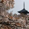 ド逆光の仁和寺御室桜。