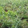 ショウガ畑の草取り作業