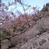 樽見の大桜