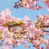 今日の景色 03/04 桜にメジロ