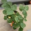 家庭菜園の枝豆がピンチ!
