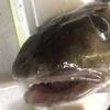 真鱈の真子で特大タラコ作ってみた!