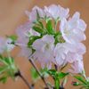 リビングの盆栽桜が満開になりました:4/6〜4/9
