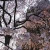 吉野で桜撮影 vol.1