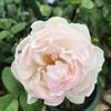 今年は雨が多いですね ジェントルハーマイオニーが咲きました