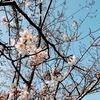 「さくら前線異常ナシ!1」:館山、現在サンブ~ゴブ咲き