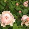 バラの写真をお楽しみ下さい