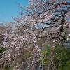 内子 郷之谷川沿いに咲くシダレザクラ