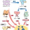 免疫 抑制 食べ物